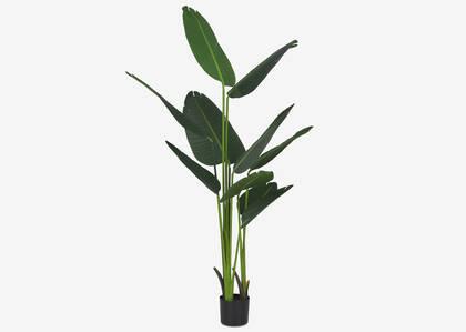 Grand arbre du voyageur en pot Kani